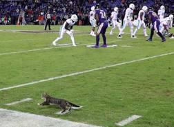 Tra i Corvi di Baltimore e i Delfini di Miami spunta perfino un gatto... AFP
