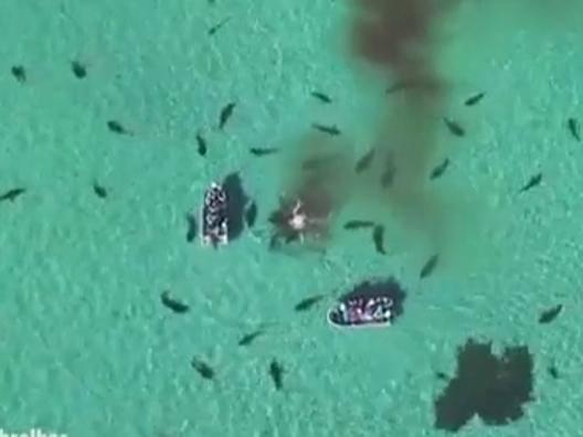 Australia, la balena viene divorata da settanta squali tigre
