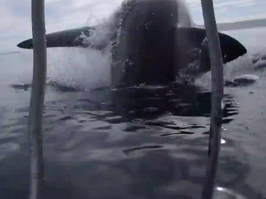 Citt� del Capo, sub: l'attacco dello squalo bianco � mozzafiato