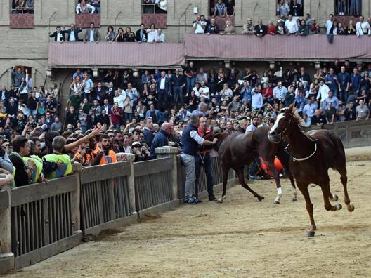 Remorex, il cavallo scosso della contrada Tartuca, vincitore del Palio straordinario. Ansa