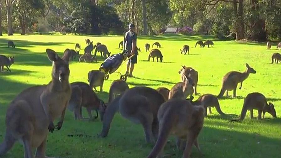 australia decine di canguri invadono campo da golf. Black Bedroom Furniture Sets. Home Design Ideas